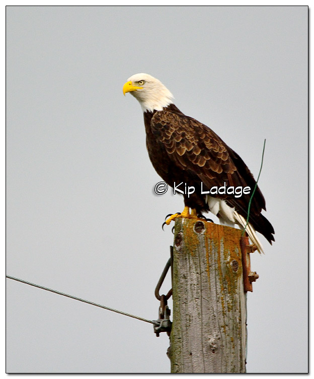 Bald Eagle on Utility Pole - Image 397823