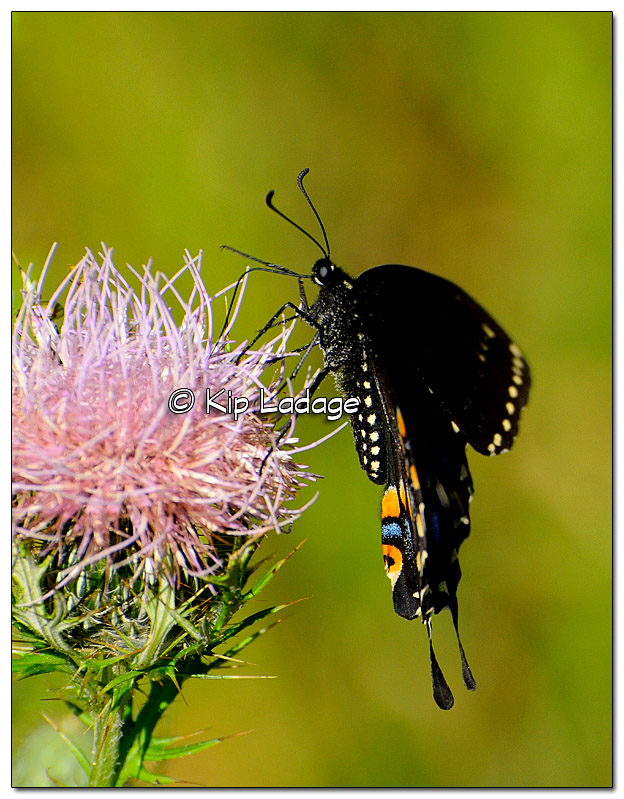 Black Swallowtail Butterfly - Image 398343
