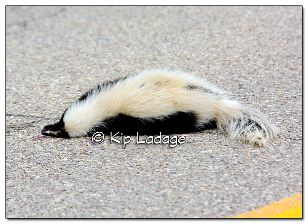 Dead Skunk in the Middle of the Road - Image 399945