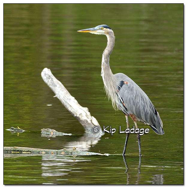 Great Blue Heron in Cedar River - Image 397961
