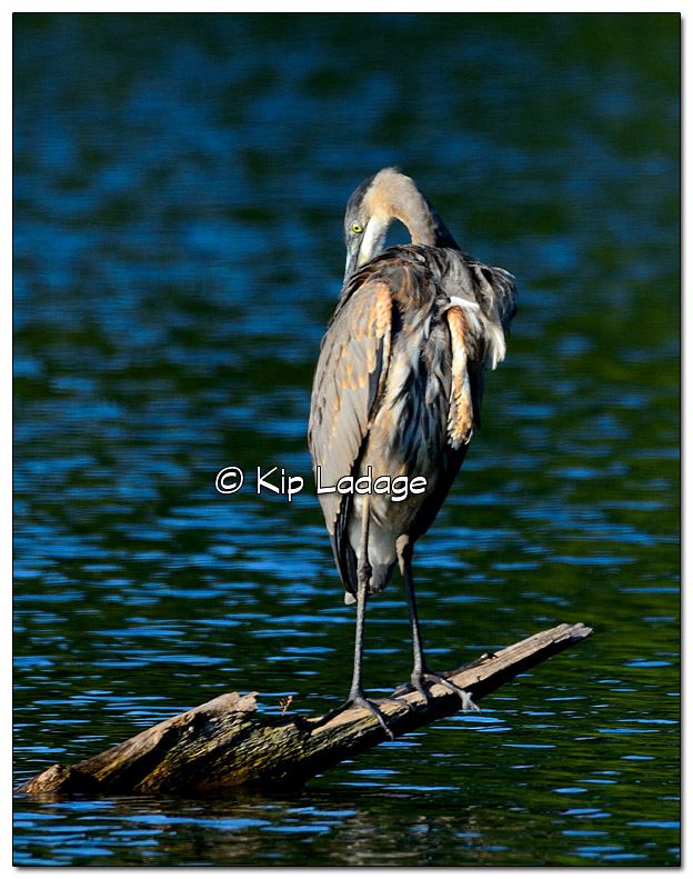 Great Blue Heron on Log - Image 394885