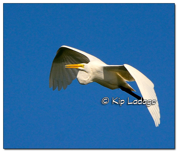 Great Egret in Flight - Image 396590