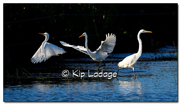 Great Egrets - Image 397675