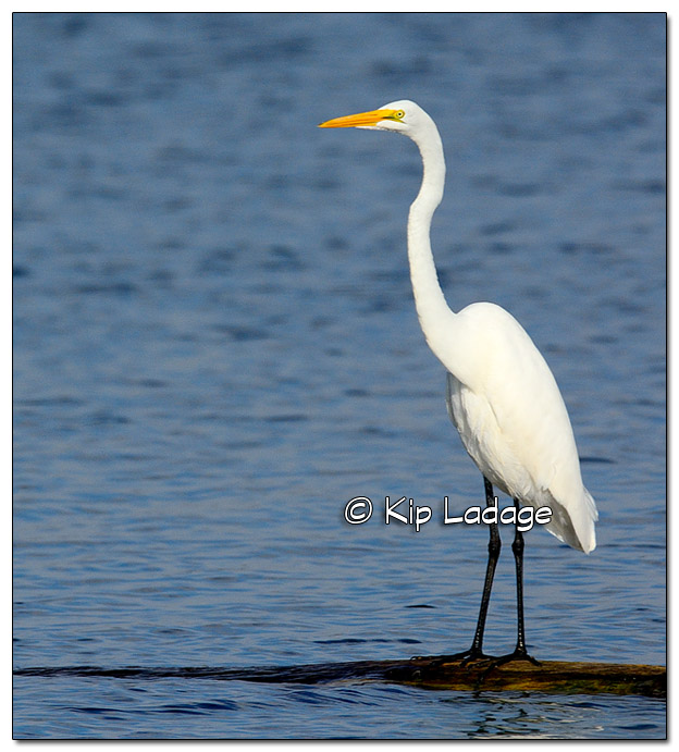 Great Egret on Log - Image 398854