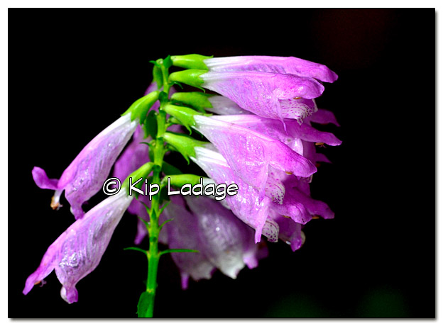 Raindrops on Obedient Plant - Image 396775