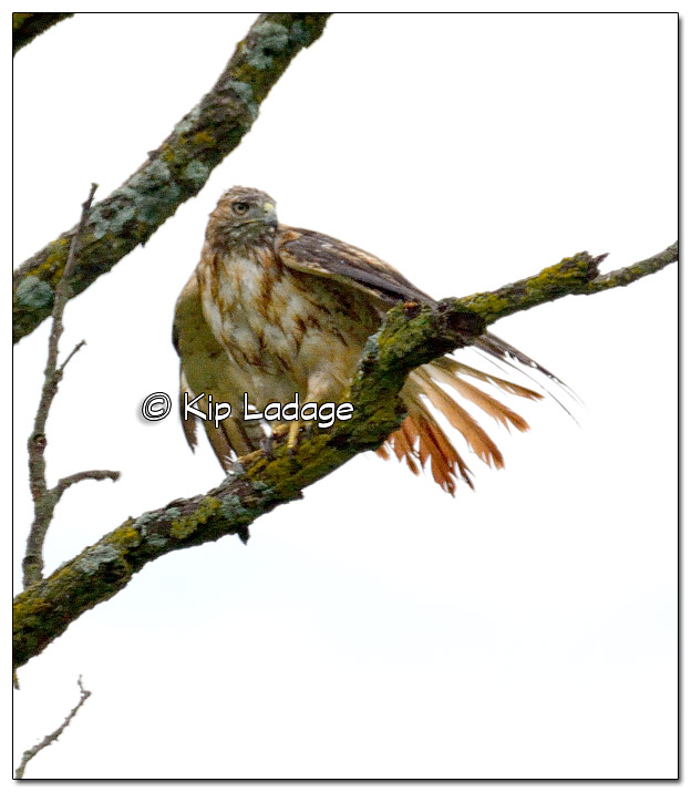Water-logged Red-tailed Hawk - Image 396748