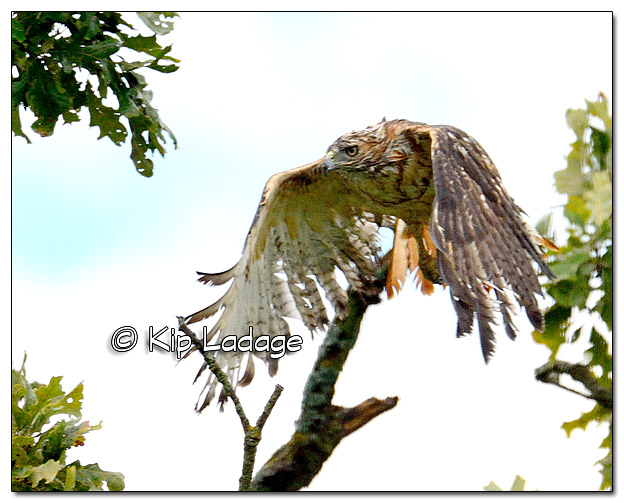 Water-logged Red-tailed Hawk - Image 396753