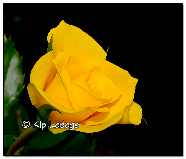 Yellow Rose - Image 399201
