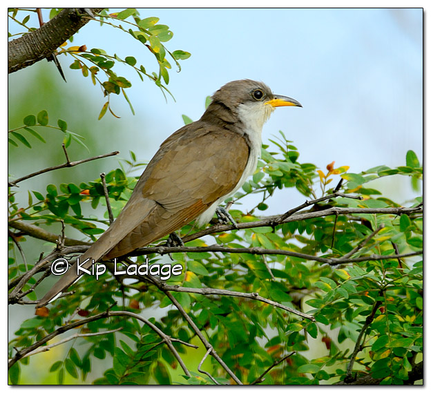 Yellow-billed Cuckoo - Image 396181