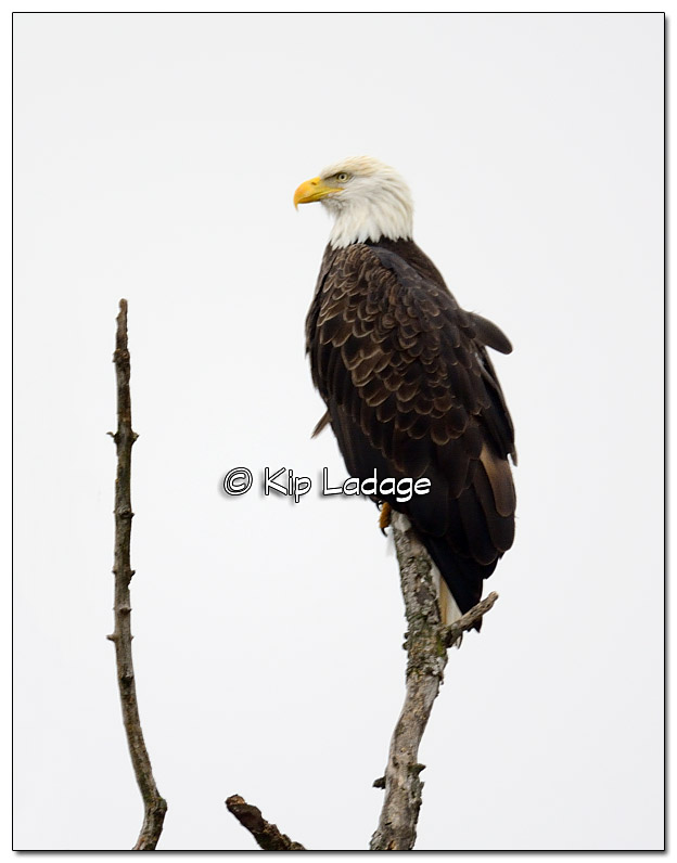 Bald Eagle in Tree - Image 402470