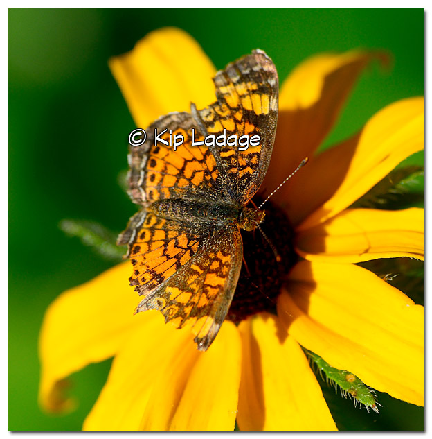 Pearl Crescent Butterfly on Black-eyed Susan - Image 400778