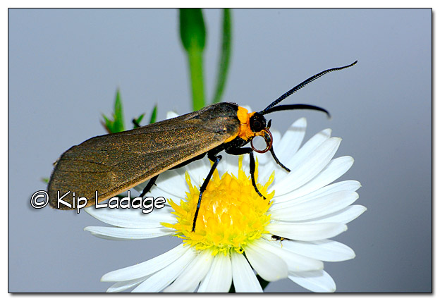 Ctenucha Moth on Aster - Image 400243
