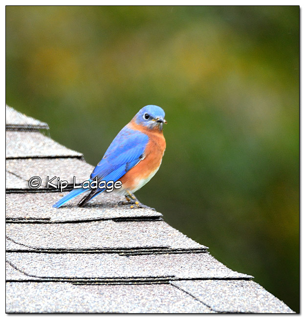 Eastern Bluebird - Image 401538