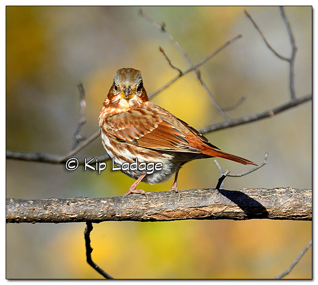 Fox Sparrow - Image 401941