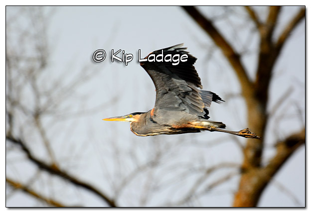 Great Blue Heron in Flight - Image 4001944
