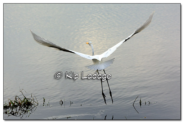Great Egret - Image 400714