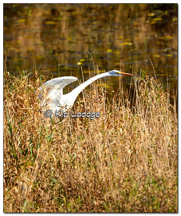 Great Egret at Tot's Lake - Image 401190