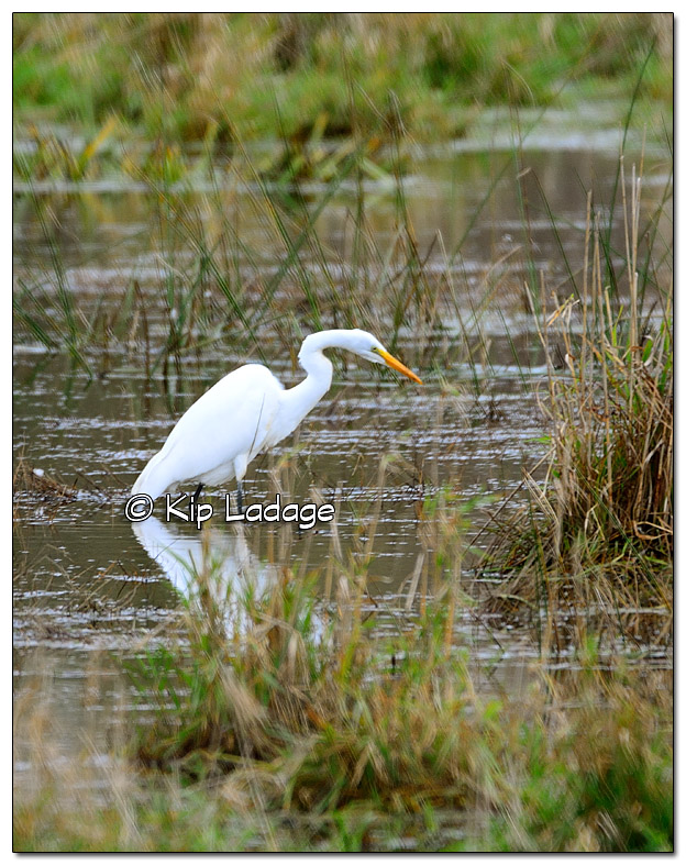 Great Egret in Flooded Pasture - Image 402991