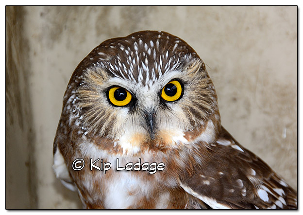 Injured Saw-whet Owl - Image 403115