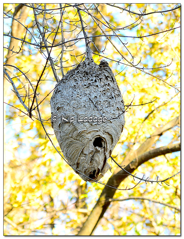 Paper Wasp Nest Hanging in Tree - Image 41862