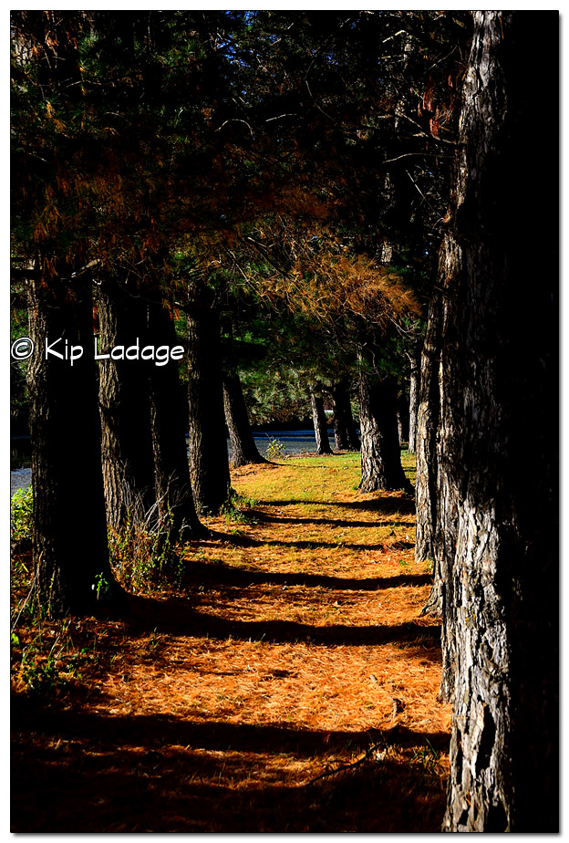 Pine Tree Path in Autumn - Image 401449