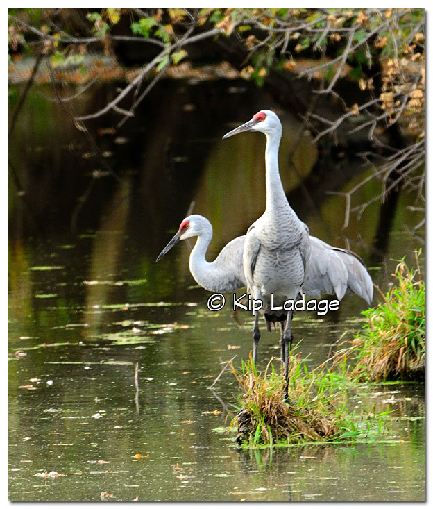 Sandhill Cranes on Small Wetland - Image 401270