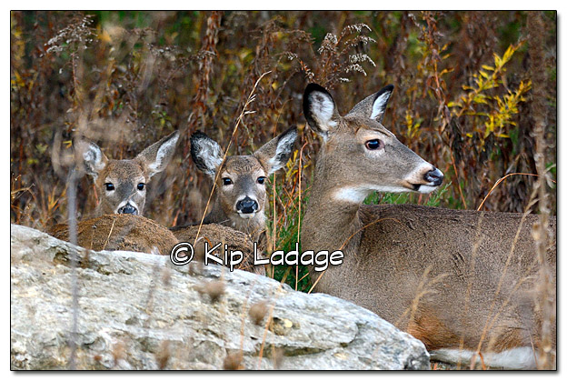 Three Whitetail Deer - Image 402537