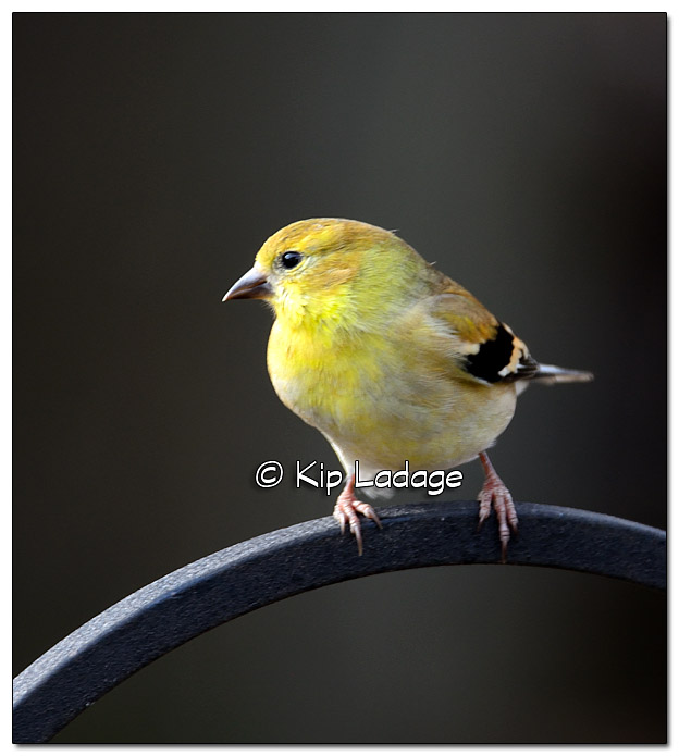 American Goldfinch - Image 406783