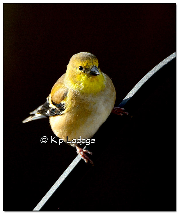 American Goldfinch Against Dark Background - Image 405915