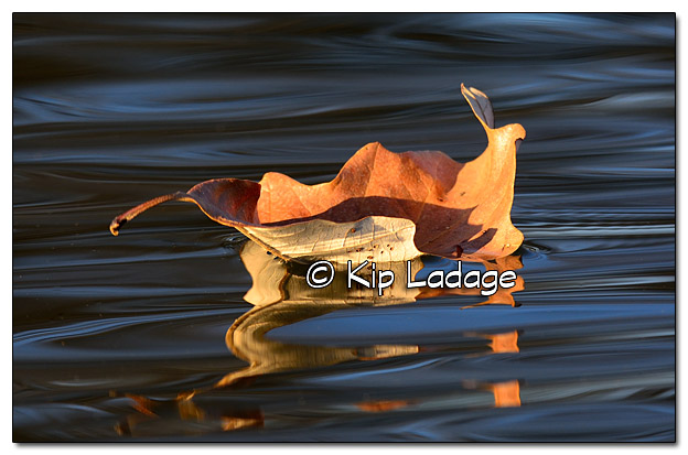 Autumn Leaf on Wapsipinicon River - Image 403542