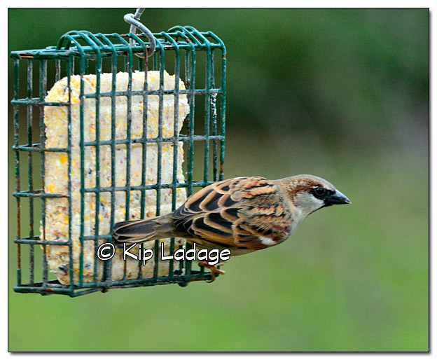 House Sparrow on Suet Feeder - Image 406785