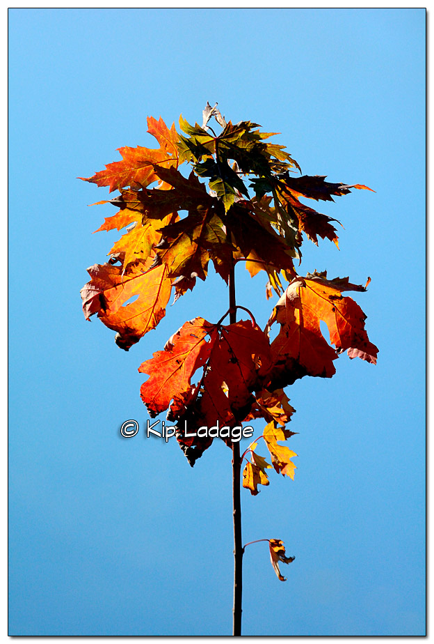 Lone Backlit Autumn Maple Tree Against Blue Water - Image 403474