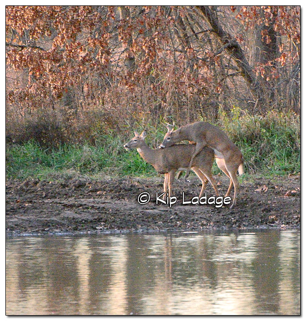 Mating Whitetail Deer - Image 404505