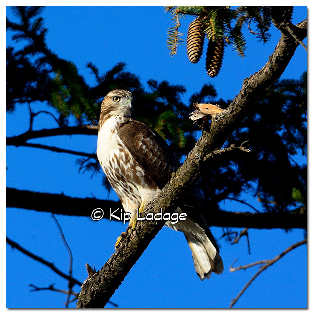 Red-tailed Hawk in Pine Tree - image 405517
