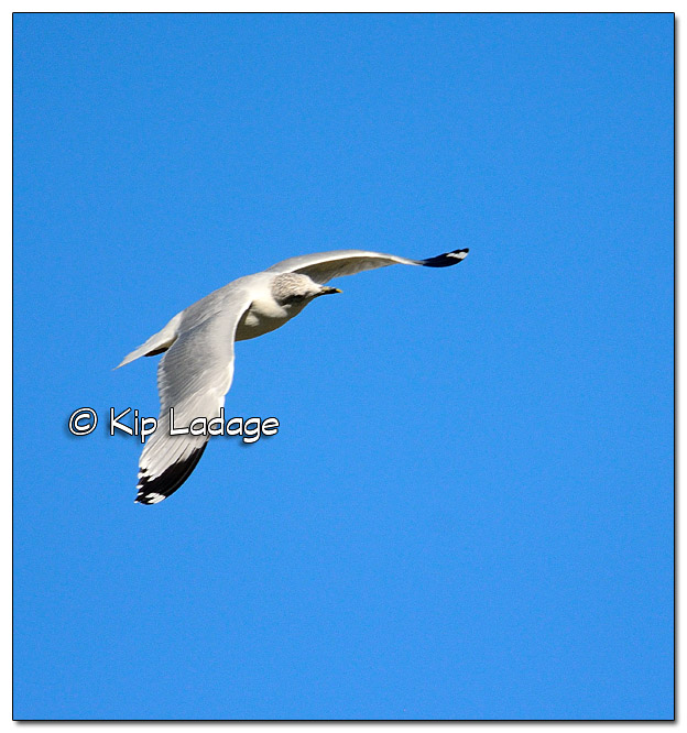 RIng-billed Gull in Flight - Image 404563