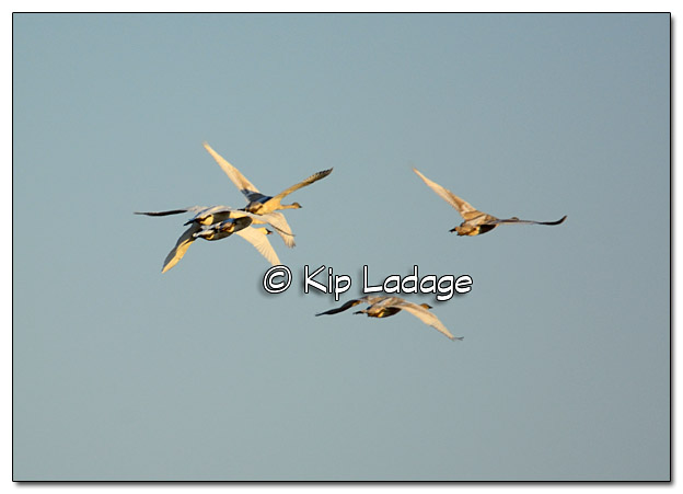 Trumpeter Swans in Flight - Image 406435