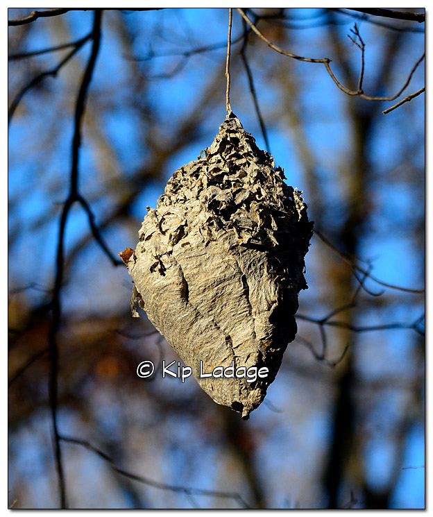 Wasp Nest at Ingawanis Woodlands - Image 405092
