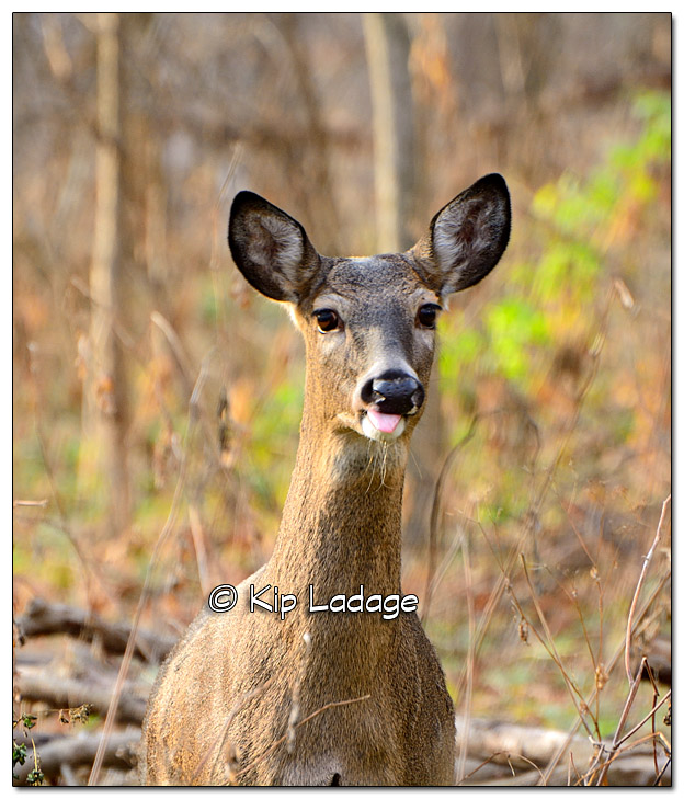 Whitetail Deer at Ingawanis Woodlands - Image 405877