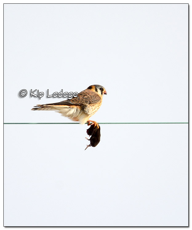 American Kestrel With Mouse - Image 409982