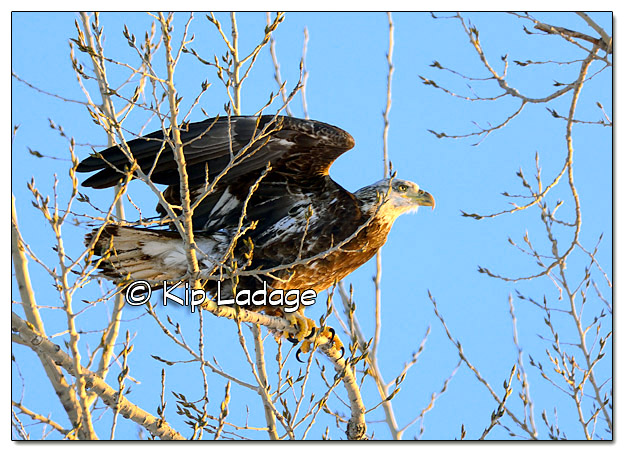 Bald Eagle in Tree - Image 409298