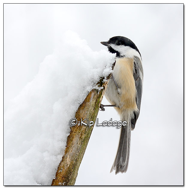 Black-capped Chickadee in Snow - Image 47812