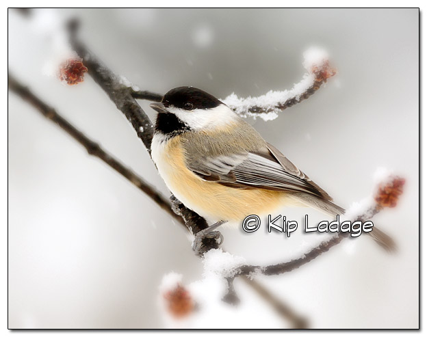 Black-capped Chickadee in Snow - Image 409497 (Nik Reflector and Vignette