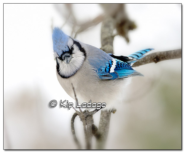 Blue Jay in Tree (Vignette) - Image 409965