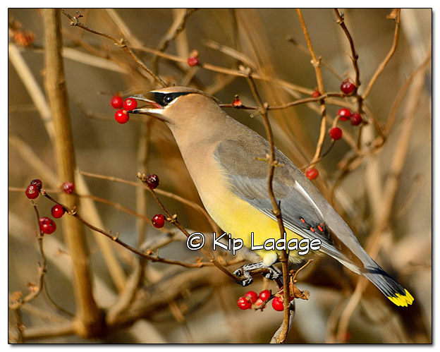 Cedar Waxwing Eating Berries - Image 408338