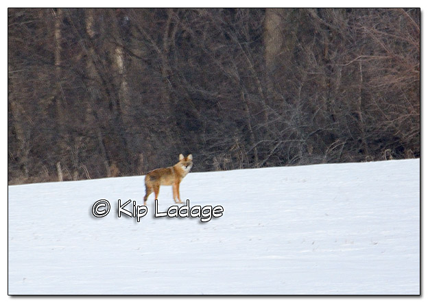 Coyote in Snowy Field - Image 410094