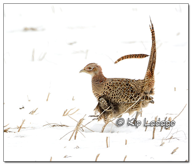 Hen Ring-necked Pheasant in Strong Wind - Image 409631
