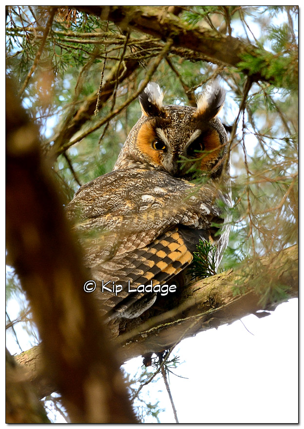 Long-eared Owl - Image 406971