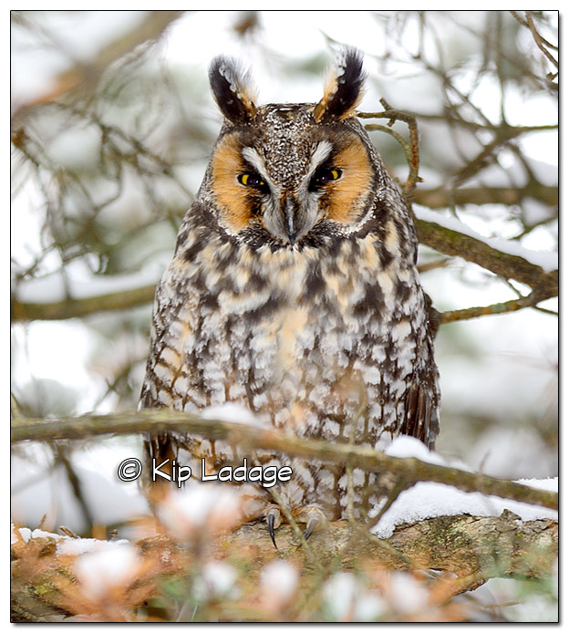 Long-eared Owl in Snow - Image 409012