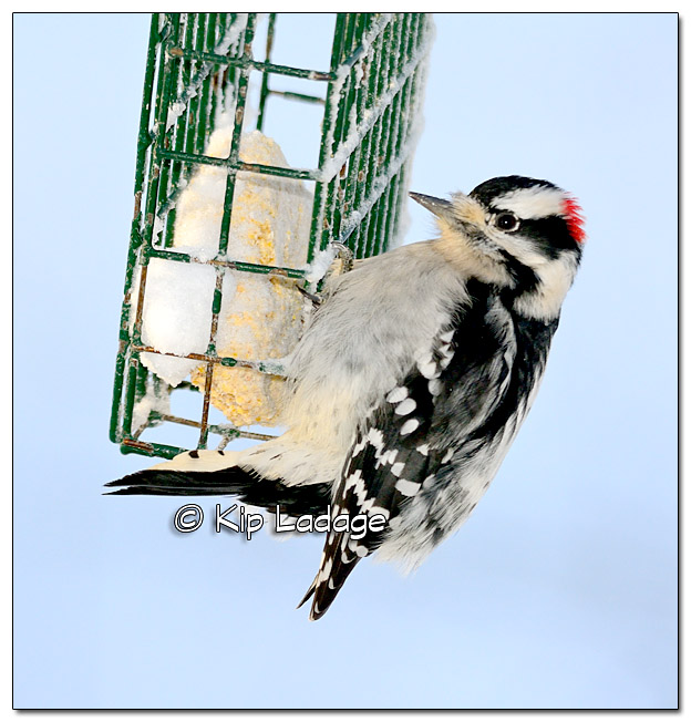 Male Downy Woodpecker at Suet Feeder - Image 409275