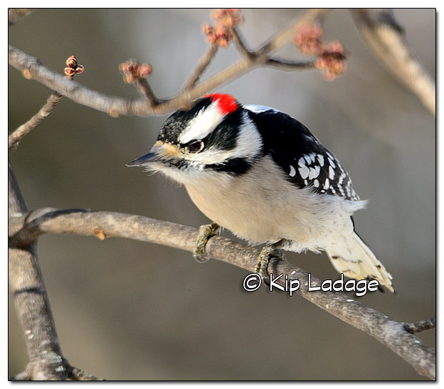 Male Downy Woodpecker - Image 409659